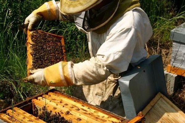 La production de miel en Corse est passée de 290 tonnes à 130 tonnes.