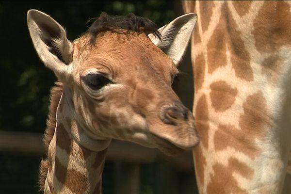 Le jeune girafon a été euthanasié suite à une fracture de la seconde vertèbre verticale
