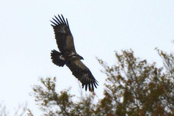 L'aigle criard Tõnn a été observé par le photographe Claude Nardin cette semaine dans le Territoire de Belfort.
