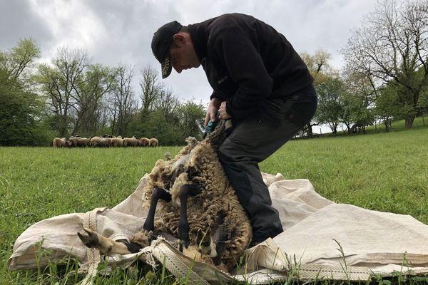 Loïc s'occupe de la tonte des 50 moutons une fois par an