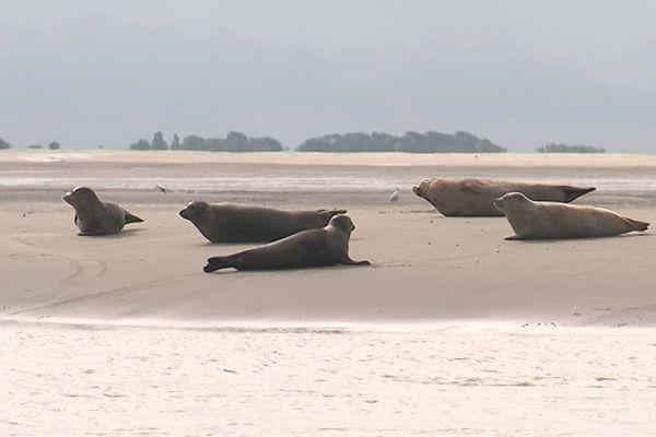 Des phoques de la baie d'Authie, août 2019