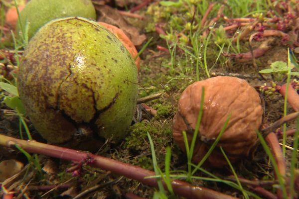 Les noix du Périgord reconnues pour leur qualité doivent jouer la proximité et la qualité bio pour résister à l'invasion des noix industrielles américaines et chiliennes