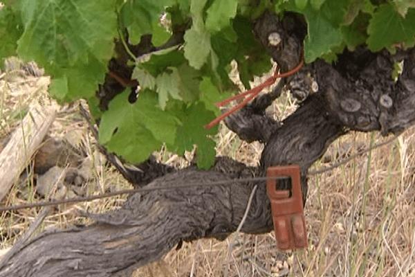 Les capsules contenant des phéronomes sont placées sur chaque pied de vigne.