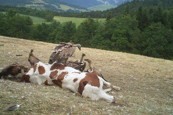 Photo d'archive France 3 Alpes. Le 28 juin dernier, des vautours s'en étaient pris à un troupeau dans le Trièves