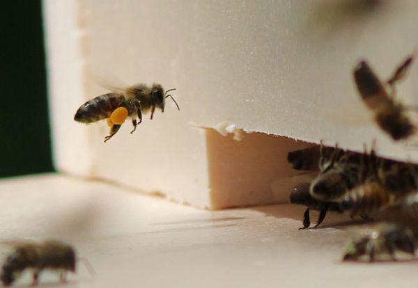Tous les jours, ce sont 2000 abeilles qui naissent et 2000 qui meurent dans une ruche, mais le travail ne s'arrête jamais.