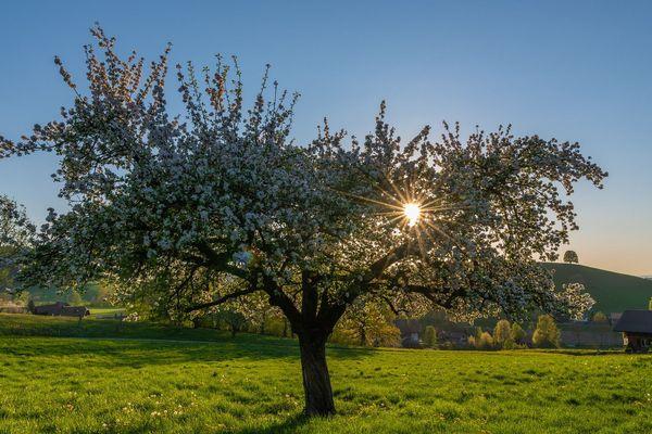 Eternelle Normandie : un fruit de soleil dans un pommier...