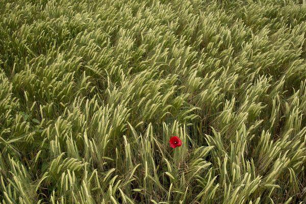 Un champ de blé avec un coquelicot (image d'illustration).