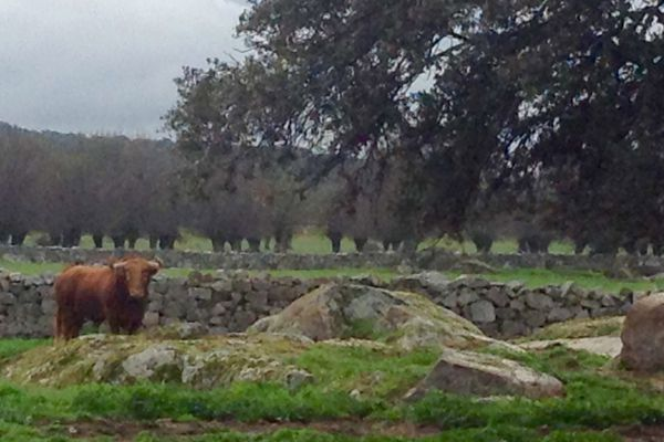 Un toro de Baltasar Ibán. Il sera à Vic Fezensac le samedi 14 mai.