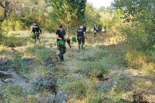 Les gendarmes ont trouvé les pieds de cannabis dissimulés dans la végétation à proximité du campement.