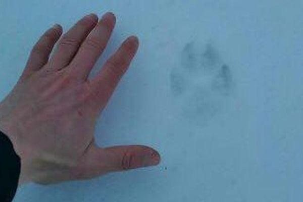 Une trace de patte qui serait celle d'un loup a été retrouvé dans la station du Mont-Lozère - Mars 2018