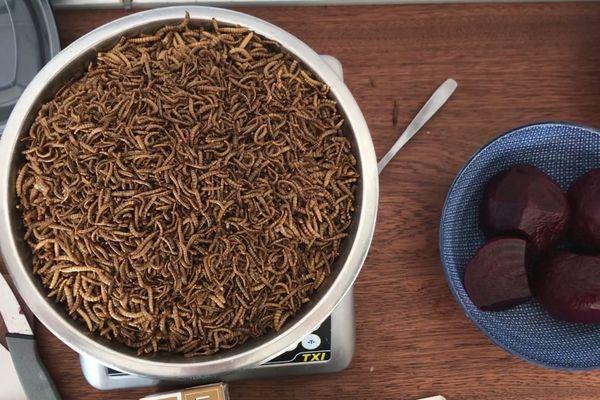 Les vers de farine sont cuisinés sous une forme déshydratée.