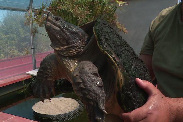 Une tortue serpentine comme celle-ci a été capturée le 22 juillet 2020 par les gendarmes de Ramonville, en bordure du canal du Midi.