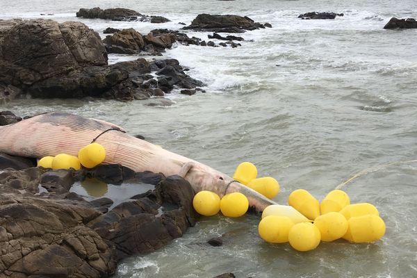 La baleine échouée sur les rochers de Batz-sur-Mer, janvier 2019