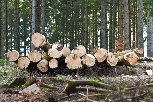 """En coupant les arbres très tôt, on peut """"préserver tout le coeur du bois"""", la partie la mieux valorisée, utilisée dans le bois d'oeuvre."""