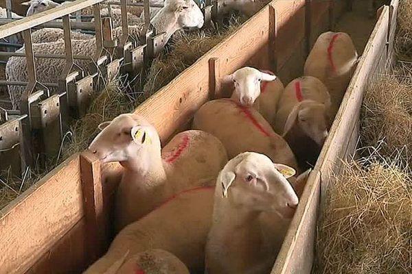 """La Salle-Prunet (Lozère) - les agneaux pascal de la filière """"agneau de Lozère"""" - avril 2017."""