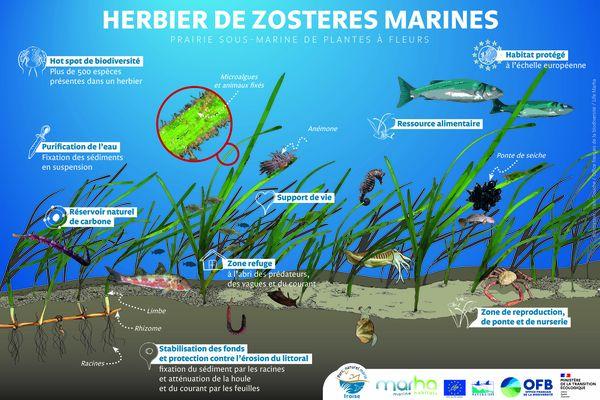 Les herbiers de zostères marines