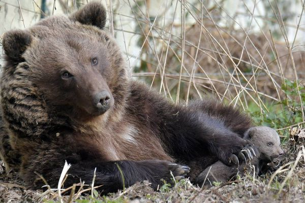 Illustration naissance d'un petit ours brun au zoo de la Boissière du Doré (Loire Atlantique)