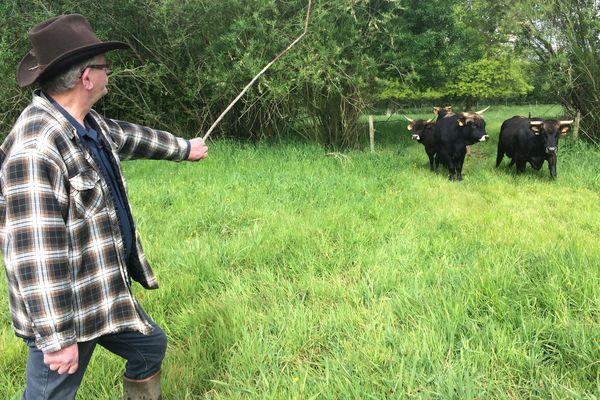 L'éleveur, Jean-Luc Queignec, conserve ses distances avec les aurochs, des animaux sauvages et imprévisibles.