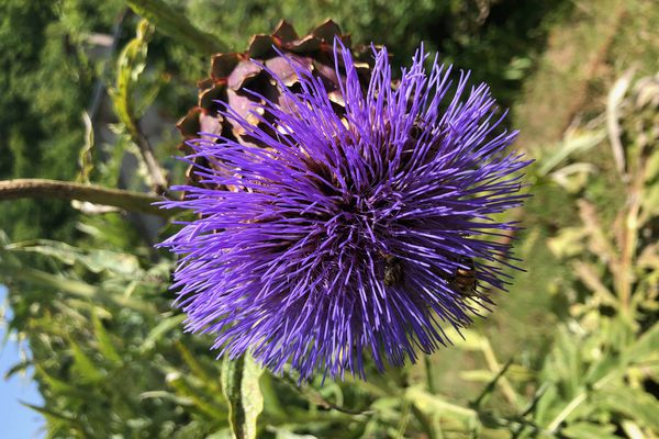 Fleur d'alium giganteum ou ail d'ornement - Les parcs et jardins de Nouvelle-Aquitaine, l'éveil du printemps à voir sur NoA le 21 mars