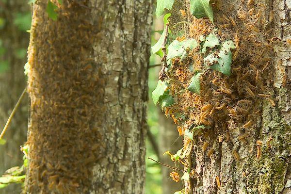 Des dizaines de mues de chenilles, accrochées à l'écorce d'un chêne.