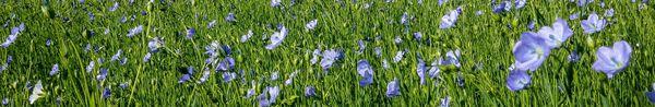 Le lin s'autoféconde, chaque fleur de lin ne vit qu'une journée