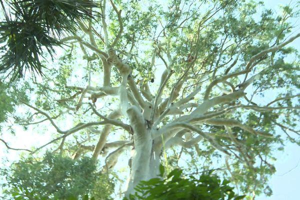 Cet eucalyptus a 150 ans.
