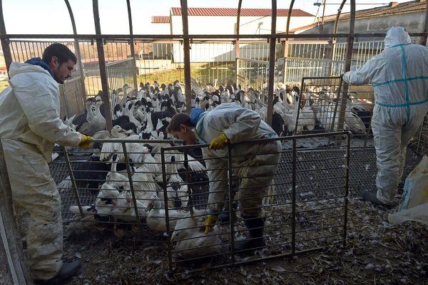 Dans l'Allier et le Puy-de-Dôme, comme sur l'ensemble de la métropole, les volailles sont sous haute surveillance après la découverte de cas de grippe aviaire en Corse. (Photo d'illustration)