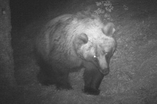 L'ourse Hvala photographiée par une caméra automatique