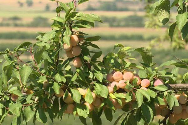 Mirabelles sur l'arbre