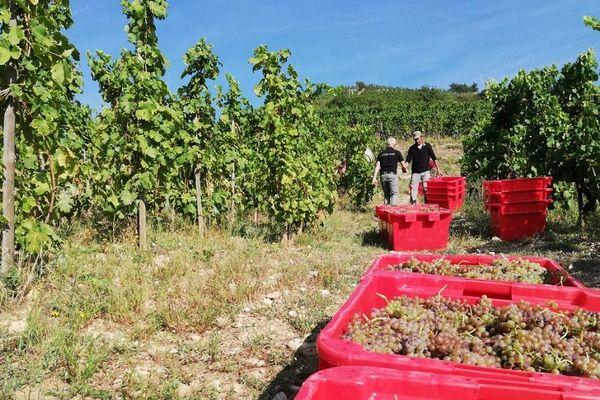 Les vendanges ont débuté pour les Côtes du Rhône, à Tain l'Hermitage septembre 2018