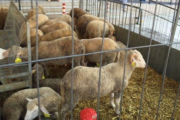 Les moutons réservés pour le sacrifices de l'Aïd à Marseille