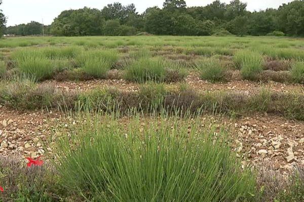 L'exploitation de la famille Fleschet qui cultive la Lavande à Grignan (Drôme) subit de lourdes pertes en raison des aléas climatiques.