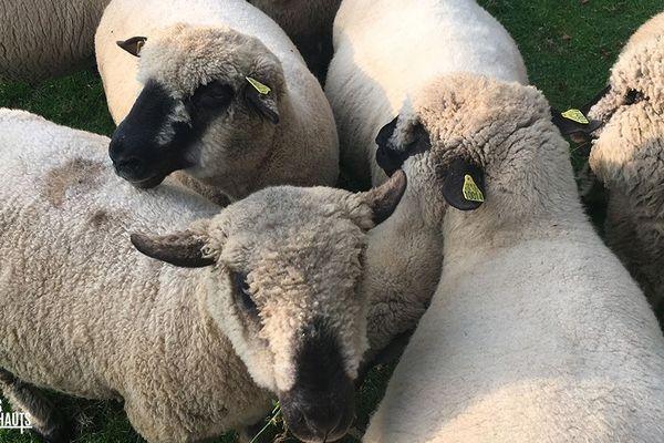Les moutons Hamsphire Down de Dominique Delabroye