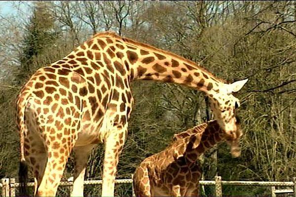 La girafe et son girafon au zoo de la Bourbansais