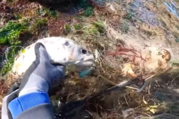 Un poisson pris dans le filet à la dérive sur la côte de Loix sur l'île de Ré.