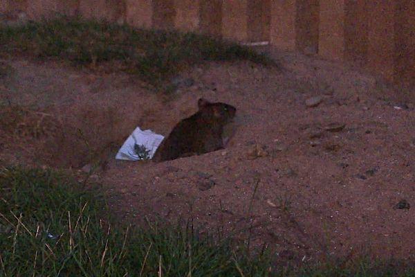 Les rats ont envahi le terrain où sont installés les poubelles de grands immeubles résidentiels dans l'Elsau.
