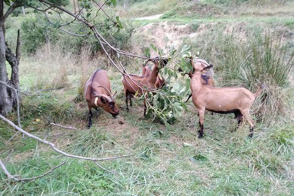 Ce collier permet de aussi de savoir ce que mangent les chèvres : herbe, feuilles, broussailles...