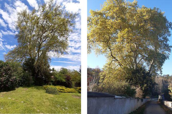 Le platane remarquable de Thiaucourt-Regniéville au printemps et en début d'automne