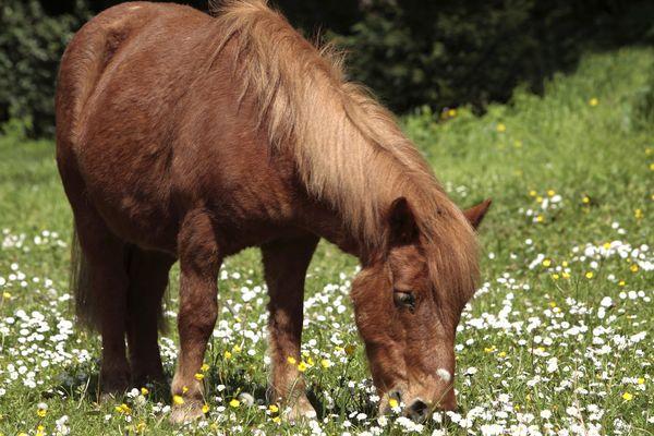 En Picardie, deux chevaux et un poney ont été retrouvés morts avec une oreille coupée (image d'illustration).