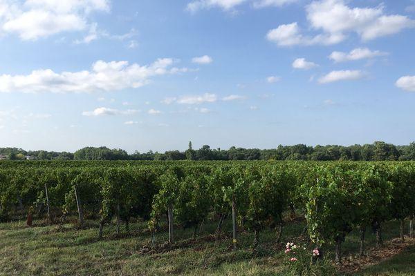Les vignes du Bordelais où les saisonniers travaillent été comme hiver.