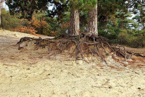 Les racines de ce pin sont mises à nu à cause de l'érosion de la dune.