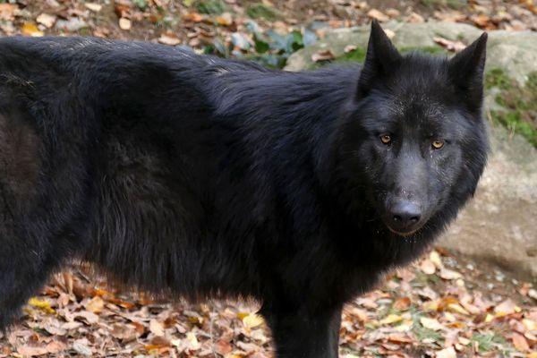 En mai, pendant que le parc était fermé, trois louveteaux gris sont nés: un mâle et deux femelles. La meute est désormais composée de 6 loups. Les visiteurs pourront les rencontrer dès le 21 mai.