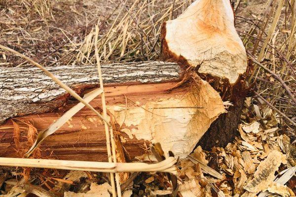 Un saule abattu par un castor, l'une des nombreuses espèces abritées par le parc Naturel régional de Camargue.