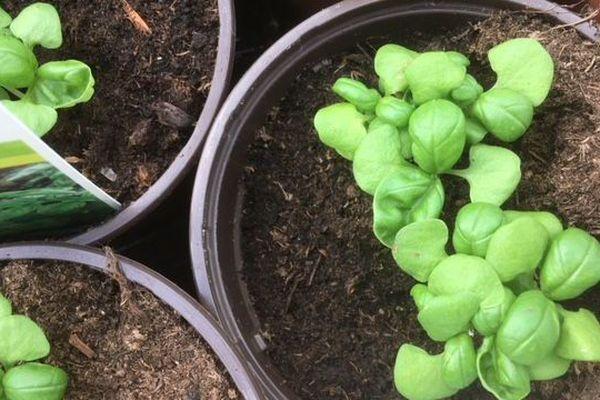 Des horticulteurs manchois proposent plants alimentaires et plantes ornementales à la vente sur le modèle d'un drive.