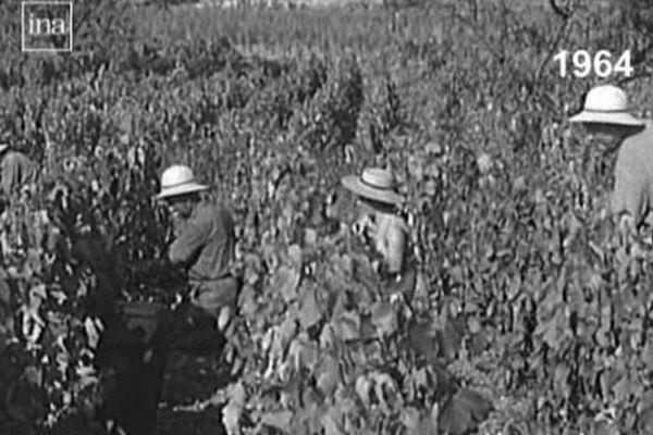 Des vendanges à Saint-Pourçain en 1964. Notre page mémoire nous ouvre les portes de la tradition vinicole dans le Saint-Pourcinois.