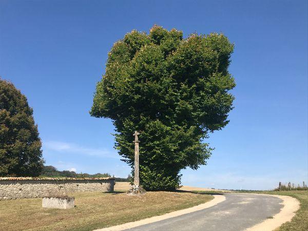 Autre arbre : le tilleul de Vaux-la-Petite a lui (seulement) 250 ans. Il a été taillé mais reste très impressionnant et majestueux.
