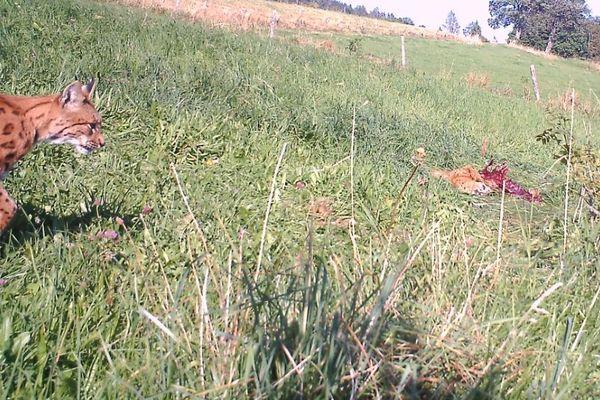 Le piège photo capte l'arrivée du lynx sur sa proie en plein jour