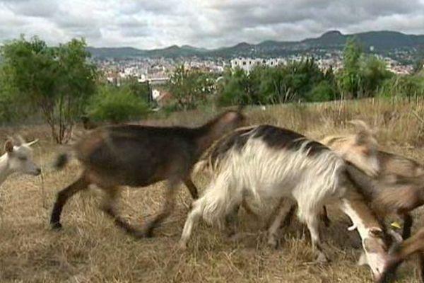 La mission de ces 10 chèvres et chevreaux ? Débroussailler 2000 m² de terrain sur les pentes escarpées de Montjuzet, à Clermont-Ferrand.