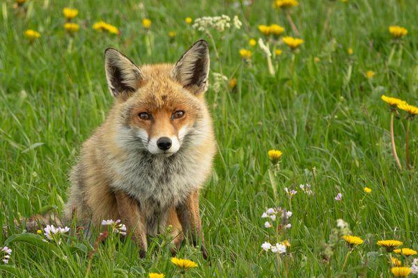 Le renard reste un des animaux de prédilection du photographe