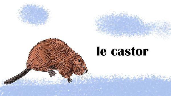 Le castor, roi des tourbières de la Bar, dans les Ardennes.